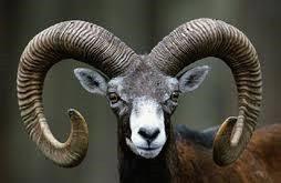mouflon head